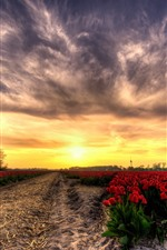 Red tulips field, sunset, glare