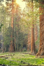 Sequoia National Park, forest, trees, sun rays, nature, USA