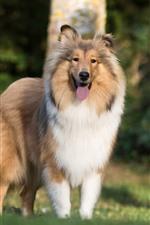 Cão pastor de Shetland, cão