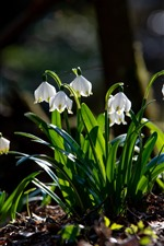 Snowdrops, white flowers, green foliage, spring