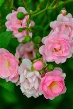 Algumas rosas cor de rosa, folhas verdes, primavera