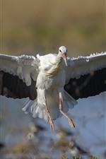 Preview iPhone wallpaper Stork open wings, flight