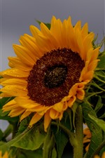 Preview iPhone wallpaper Sunflowers, water droplets, gray sky