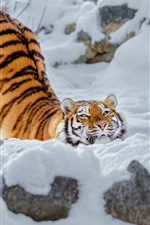 Preview iPhone wallpaper Tiger, snow, pose, winter