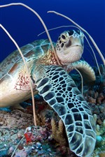 Preview iPhone wallpaper Turtle, coral, sea