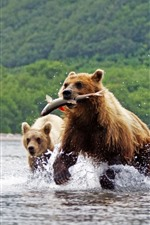 Two brown bears, catching fish, river