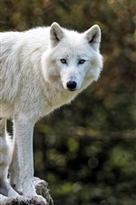 Preview iPhone wallpaper Two white wolves, look, rest