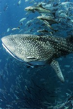 Preview iPhone wallpaper Whale shark, fish, sea, underwater
