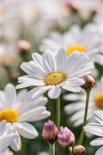 iPhone обои Белая ромашка, цветы, лепестки, Весна
