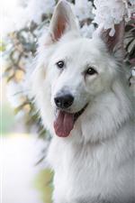 Cão branco e flores brancas, Hazy