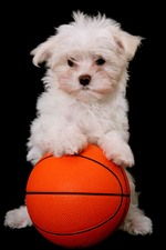 Preview iPhone wallpaper White puppy and basketball, black background