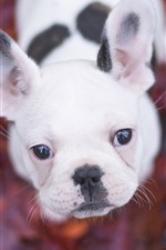 White puppy look up