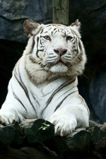 White tiger, look, zoo