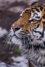 Preview iPhone wallpaper Wildlife, tiger, face, look