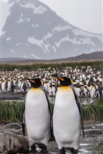 Preview iPhone wallpaper A lot of penguins