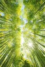 Bamboo forest, green, sun rays, from bottom view