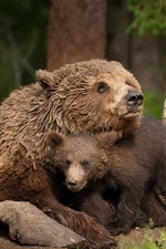 Preview iPhone wallpaper Bears, bear cub, family