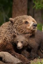 Bears, bear cub, family