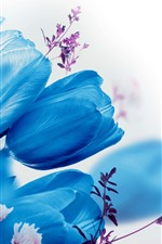 Blue tulips, white background