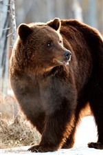 Preview iPhone wallpaper Brown bear look back, winter, snow