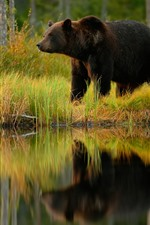 Preview iPhone wallpaper Brown bear, pond, grass
