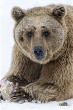 Preview iPhone wallpaper Brown bear, sit on ground, snow, winter