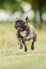 Preview iPhone wallpaper Bulldog running