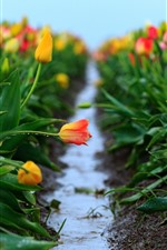 Preview iPhone wallpaper Colorful tulips flowers, water droplets, hazy