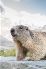 Preview iPhone wallpaper Cute animal, marmot, wildlife