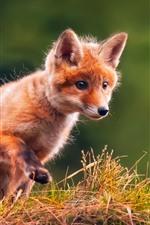 Preview iPhone wallpaper Cute little fox, walk, grass