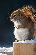 Cute squirrel, snow, winter, stump