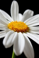 Preview iPhone wallpaper Daisy, white petals close-up, black background