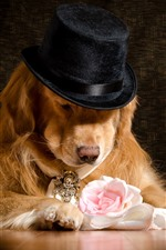 Dog, hat, rose