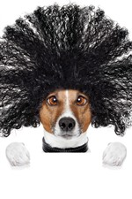 Preview iPhone wallpaper Funny dog, hairstyle, white background
