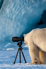 Preview iPhone wallpaper Funny polar bear, photographer