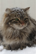 Preview iPhone wallpaper Furry gray kitten, snow, winter
