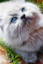 Preview iPhone wallpaper Furry white kitten look up, blue eyes