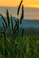 Preview iPhone wallpaper Grass, insect, sunset