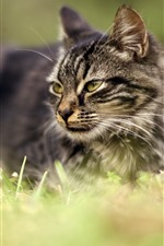 Preview iPhone wallpaper Gray cat, look, face, grass, hazy background