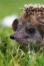 Preview iPhone wallpaper Hedgehog, needles, grass