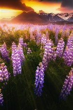 Iceland, pink lupine flowers, sunset, mountains