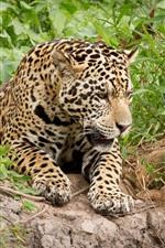Jaguar, green leaves, bushes