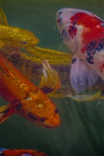 Koi, peixe, cores, água