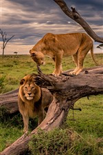 Preview iPhone wallpaper Lion and lioness, Africa, wildlife
