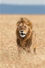 Preview iPhone wallpaper Lion in the wind, Africa