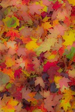 Many red and yellow maple leaves, autumn