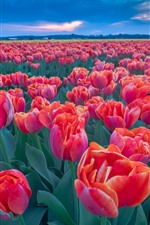 Preview iPhone wallpaper Many red tulips, flower field