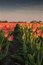 Netherlands, pink tulips, flowers field, morning