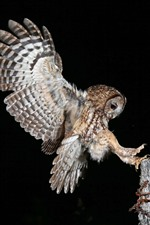 Night, owl flight, wings, stump, black background