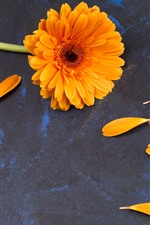 Preview iPhone wallpaper Orange gerbera flower, petals